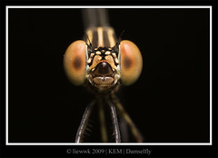 7.7 Damselfly ... FACE ... (liewwk - www.liewwkphoto.com) Tags: park blue wild brown macro green eye nature animal closeup fauna canon bug garden dark insect leaf flora asia natural outdoor wildlife leg wing foliage kualalumpur wilderness damselfly antenna proboscis naturesfinest zygoptera mpe65 50d kemensah canon50d macrolife mpe65macro