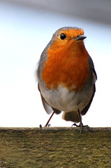 Robin Redbreast (Missy2004) Tags: bird robin newforest nikond60 dennywood pfogold pfosilver beautifulworldchallenges nikkor70300mmf4556afsifedvr
