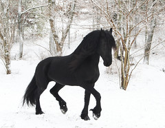 Keegan in the Snow (larissa_allen) Tags: horses horse black photography indiana keegan ponies equestrian equine blackstallion friesian friesians horsetraining friesianhorses blackhorses friesianstallion snowfriesian