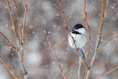 Chickadee in a Snow Storm - Project 365 Day 65 (Ron Kube Photography) Tags: trees canada calgary bird nature oneaday birds fauna nikon frost frosty alberta chickadee photoaday ornithology blackcappedchickadee bankside pictureaday calgaryalberta blackcapped fishcreekpark poecileatricapillus project365 d80 nikond80 project36565 fcpp ronaldok project365022209 ronkubephotography