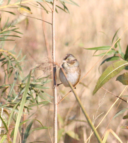swamp sparrow after too much coffee