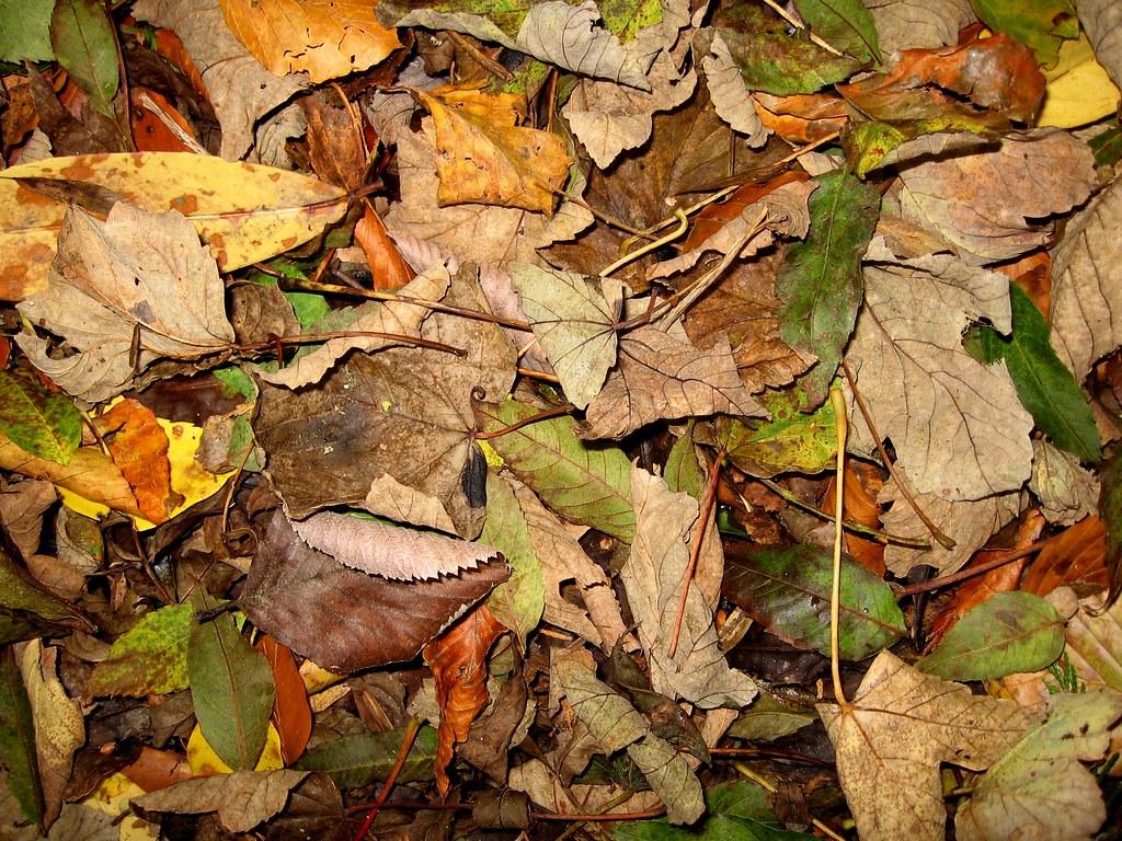 Avoca Leaves *