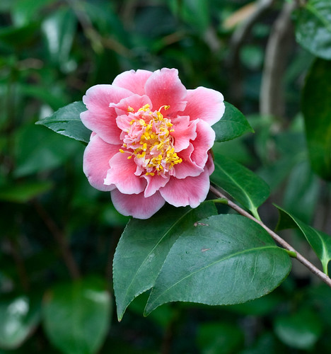 An unidentified camellia from the garden of John Wang