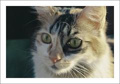 Pascuala, confused (LinoPhilippe) Tags: chile santiago cats film cat kitten feline chat kitty gatos gato felino katze gatto katzen kot matou chatte chaton ネコ proimage100 кошка hauskatze قط felidi