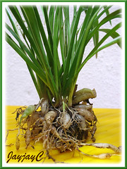 A tuft of Chlorophytum laxum 'Bichetii' or Chlorophytum bichetii 'Siam Lily', spaded out of pot to feature the tuberous roots, March 2009