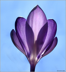 Purple Crocus (West County Camera) Tags: friends crocus oa purplecrocus theunforgettablepictures platinumheartaward macroflowerlovers excellentsflowers natureselegantshots wonderfulworldofmacro mimamorflowers abovealltherest flickrflorescloseupmacros panoramafotogrfico thebestofmimamorsgroups imagesforthelittleprince platinumpeaceaward mygearandme mygearandmepremium mygearandmebronze mygearandmesilver mygearandmegold mygearandmeplatinum mygearandmediamond silveramazingdetails goldamazingdetails