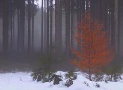 Red in the Gray (Claude@Munich) Tags: wood schnee trees winter red mist snow tree rot fog forest germany bavaria grey nebel upperbavaria grau wald bume spruce baum beech coniferous fichte buche picea monoculture europeanbeech pinaceae fagussylvatica nadelbaum claudemunich rotbuche fichtenwald commonbeech