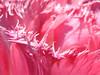 frizzuli rosa