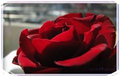 ROTE ROSE  . ...  .. ...  .. :  ||     | . .. ... .. . ... ________ RED ,  RED Rose, EffiArt (eagle1effi) Tags: red flower macro rot art love nature rose fauna canon germany rouge deutschland code flora flickr who expression kunst natur award blumen icon powershot foliage fiori blume edition fiore invite tuebingen myfave picnik spd erwin sx1 tbingen damncool tubingen wrttemberg badenwuerttemberg fdf canonmacro sacrosanct views500 views100 views200 views300 views1000 bridgecamera effinger artexpression eagle1effi naturemasterclass rosemann yourbestoftoday artandexpression canonsx1is effiart mindigtopponalwaysontop sx1best sx1isbest sx1fave canonsx1ispowershot dibenga stadttbingen effiartkunstcopyrightartisteagle1effi effiartgermany effiarteagle1effi beautifulcityoftubingengermany beautifulcityoftbingengermany ber100malgesehen dibeng tubingue