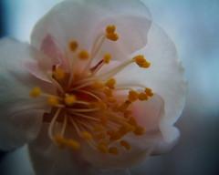 Feb 21,2009VQ1005 (boniyuki) Tags: flower macro toycamera closeuplens toydigital vq1005