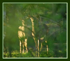 "Who is Watching Whom? (Jenny Gandert Photography - aka ""Rays From Heaven"") Tags: lake nature look pond fdsflickrtoys wildlife watching follow deer stare stalk digitalcameraclub jennygandert gandert"