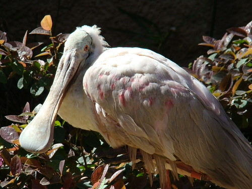 Roseate Spoonbill at the Los Angeles Zoo