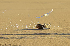 Perfect Escape - part | (A.alFoudry) Tags: wild white bird lines birds canon eos escape desert action pigeon dove wildlife hunting feather line freeze catching falcon catch kuwait hunt kuwaiti q8 30d abdullah wildbirds canon70200 wildbird kuw canoneos30d q80 canonef70200mmf28lisusm xnuzha alfoudry abdullahalfoudry foudryphotocom