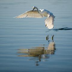 Egret (Russ Beinder) Tags: ca reflection bird fly topc50 palmsprings greategret westinhotel naturesfinest missionhills blueribbonwinner platinumphoto diamondclassphotographer