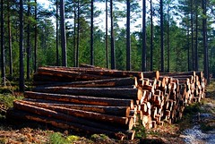 Lumber Business on Fårö (Let Ideas Compete) Tags: wood trees tree pine forest faro island spring log natural forestry timber logs swedish stack april pulp scandinavia forests resource lumber scandinavian scandanavian fårö östersjön pulpwood swedishforest scandanavianforest