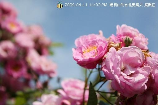 09.04.11 漂亮的爬藤薔薇@陽明山 (7)