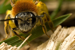 MINER BEE  #9 (GOLDENORFE) Tags: macro insect minerbees minerbee macromarvels