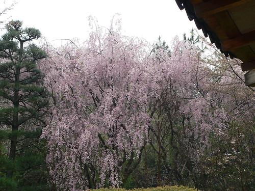 Japanische Kirschblüte 3