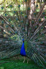 De la realeza... (Solrak7) Tags: blue color verde green bird animal azul real colores ave rey pluma pajaro elegant vivo pavo vivos acordeon realeza