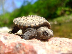 Baby Snapping Turtle (oclark53) Tags: baby lake nature water animal animals creek river outdoors turtle reptile wildlife tortoise shell wilderness cooter snapper reptiles snappingturtle herpitology anawesomeshot oclark53