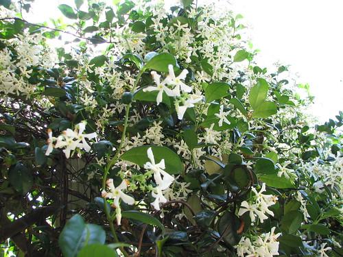 jasmine blooming