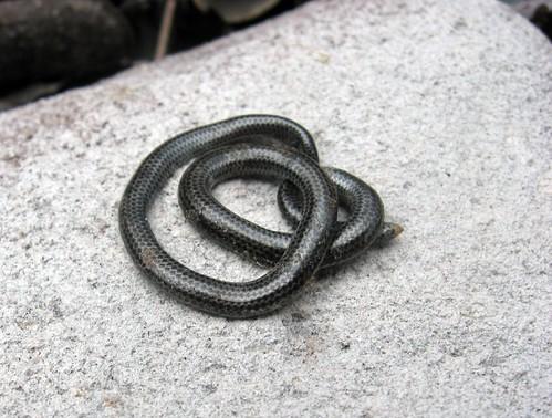 thread snake