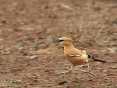 Pleske's Ground Jay (AmirHosssein) Tags: bird iran endemic  birdwatching touran   fbwnewbird  tourannationalpark  persiangroundjay   pleskesgroundjay podocespleskei