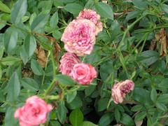 Rogue Roses