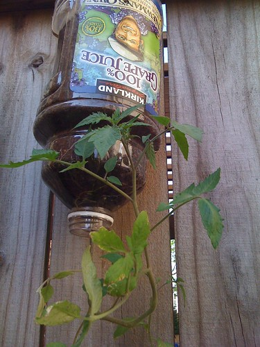 Growing upside down plants - Can a plant grow upside down ...