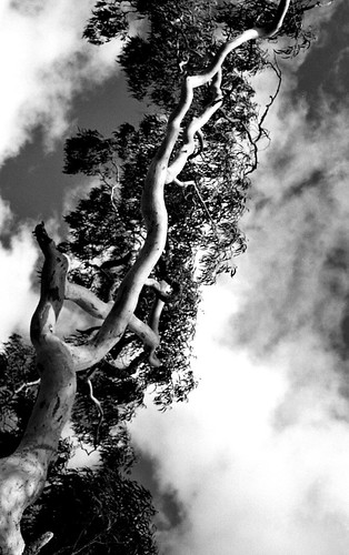 Gum Tree Branch BW