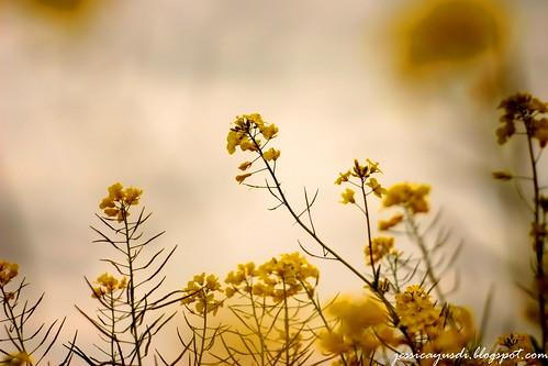 rapeseed11
