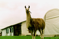 Hello there! (Zabowski) Tags: newjersey farm llama warrencounty route519 whitetownship