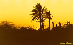 sunset among palm      (Ahmed Albaqer  ) Tags: sunset sun yellow bahrain palm  nikoncamera printfilm dair  theunforgettablepictures