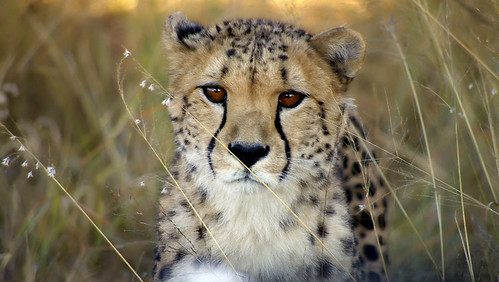 Thoughtful Cheetah