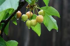 Tilk-tilk-tilk (anuwintschalek) Tags: macro tree home water rain closeup garden austria cherries wasser may droplet puu 2009 baum niedersterreich regen vesi tropfen kodu aed vihm kirschen wienerneustadt tilk kirsid piisk kirss canoneos1000d