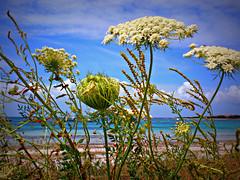 Wild flowers (fiammetta53) Tags: beach sardinia wildflowers spiaggia fioridicampo putzuidu fiammetta53
