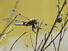 Eating Dragonfly (nakedblood666) Tags: nature animal insect wings pond essen dragonfly eating eat teich libelle damselfly tier skimmer flgel libellulaquadrimaculata vierfleck percher segellibelle