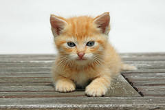 Chaton N2, 2me essai (JosephSardin) Tags: cats baby cute cat chats kitten chat kitty kittens gato catkin bb roux bbs chatte kittys cutes chaton chatons chattes minoux