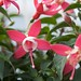 Fuchsia up close and personal