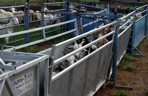 Goats in the handling system