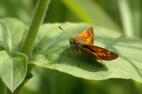 Ochlodes faunus (O. venata) | Groot dikkopje - Large skipper (F)