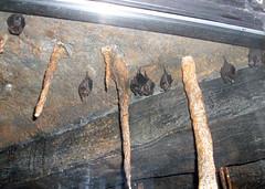 StoneZoo_62009_Bats