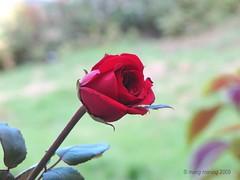 FP: Michael Jackson ~ August 29, 1958 -June 25, 2009 (mang M) Tags: flower rose garden dof bokeh mj philippines redrose michaeljackson filipinas kingofpop pilipinas hardin halamanan pinoykodakero mangmaning2000