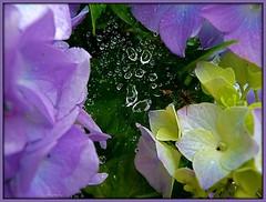 Spider's water network (ruschi_e) Tags: flowers net rain schweiz switzerland spider blumen raindrops spinne regen netz tistheseason regentropfen abigfave anawesomeshot flickrdiamond citrit ruschie kunstplatzlinternational
