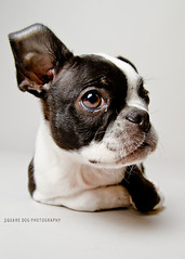 Edison the Boston Terrier (Charlie the Cheeky Monkey) Tags: dog dawg bostonterrier blackandwhitedog cutepuppy thelittledoglaughed