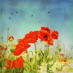 poppy love (And Soon the Darkness) Tags: flowers red sky green eye texture birds yellow square squareformat poppy poppies peterborough eyegreen colorphotoaward tatot magicunicornverybest
