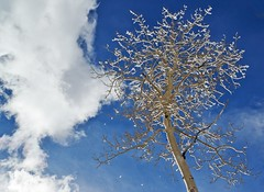 Cloud & Snowy Aspen (JasonCameron) Tags: blue sky cloud snow tree clouds utah high wasatch frost bright altitude central frosty fresh crisp dust aspen vision:outdoor=0855 vision:sky=0912