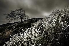 Who Will I Become? (jasontheaker) Tags: uk england tree landscape oak frost heather yorkshire country stonewall 2009 dales hawfrost bilberries storiths jasontheaker boltonabbey
