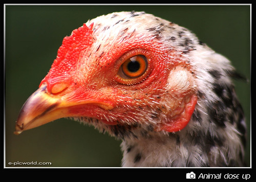 chicken close up picture