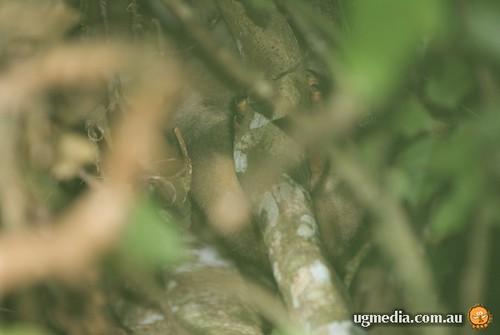 Lumholtz tree kangaroo (Dendrolagus lumholtzii)
